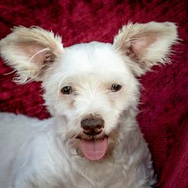 Bambi by Myra Brizendine Wilson - Animals - Dogs Portraits ( canine, pet, bambi, dog )