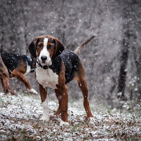 dogs are happy when snow is falling :) by Boris Romac - Animals - Dogs Playing ( pentax k5, croatia, coguar, glavice, boris romac, animal snow ,  )