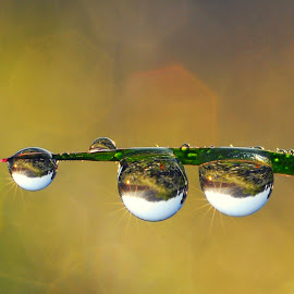 Dews by Muhamad Lazim - Nature Up Close Natural Waterdrops ( macro, dew )