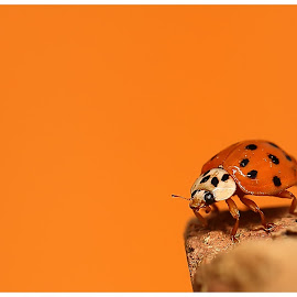 Ladybug by Brian Kirby - Animals Insects & Spiders ( orange, macro, ladybird, ladybug, insect, close up, beetle )