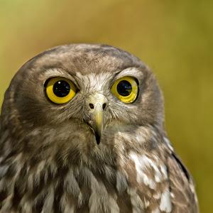 owl00.jpg