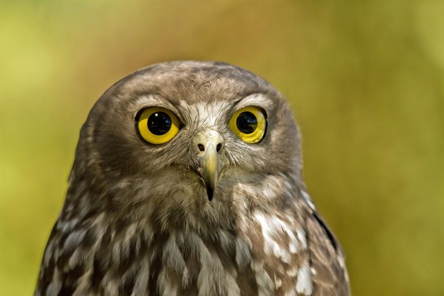 Barking Owl V2 by Steve Hatton - Animals Birds ( australian bird, nocturnal bird, bird of prey, bird., nocturnal, owl, australian owl, barking owl )