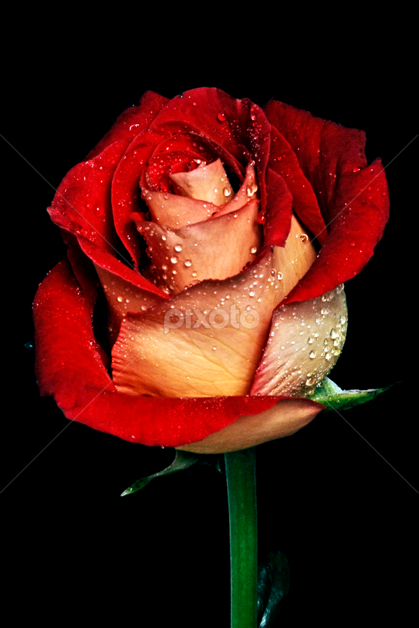 Red rose by Cristobal Garciaferro Rubio - Nature Up Close Flowers - 2011-2013 ( rose, red, bi-tone, petals, drop, drops, red rose, leaf, flowers, leaves, flower )