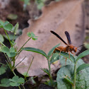 Paper wasp/red wasp