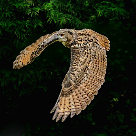 EurasianEagleOwl by EH Soh - Animals Birds