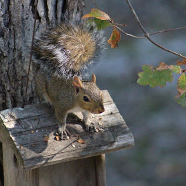 Gaurdin his nuts by Terry Linton - Animals Other
