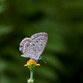 butterfly by Md Mukibul Islam - Animals Insects & Spiders ( spotted butterfly, butterfly, nature, butterfly on flower, insects )