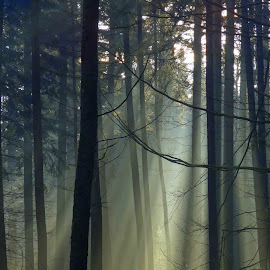 sun rays 2 by Nico Kranenburg - Nature Up Close Trees & Bushes ( tress, wood )
