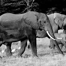 Family outing by Pravine Chester - Black & White Animals ( elephants, animals, monochrome, black and white, photography )