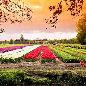Tulip by Rudi Yanto - Landscapes Prairies, Meadows & Fields ( keukenhof, tulip )