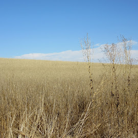 Blue Over Gold by Kay Page - Novices Only Landscapes ( field, hill, golden., sunny, landscapes )