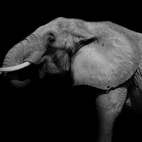 Elephant by Dakota York - Black & White Animals ( elephant, grey, black, animal, , face, photography, closeup, close, up, Africa, Safari )