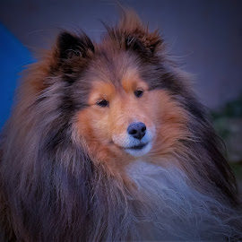 A beautiful smile by Sue Delia - Animals - Dogs Portraits ( shetland sheepdog, dog, pet, furry, smile )