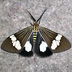 Noctuidea Moth