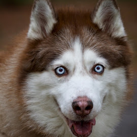 Portrait of a Husky by Sandy Scott - Animals - Dogs Portraits ( canine, animals, mesmerizing eyes, pets, blue eyes, husky, dog portrait, dog, domestic animals, eyes )