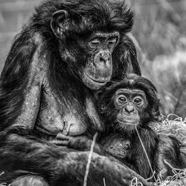 mum & baby by Garry Chisholm - Black & White Animals ( bonobo, primate, nature, ape, garry chisholm )