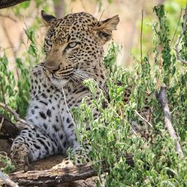 Leopard by Dirk Luus - Animals Lions, Tigers & Big Cats ( cat, nature, wildlife, leopard, animal )
