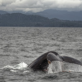 Whale Tail by Dennis McClintock - Animals Fish ( sitka ak, big animal world challenge, fish, sitka bay, whale )