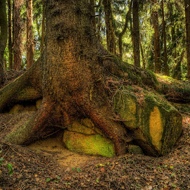 Stone Base by Klaus Müller - Nature Up Close Trees & Bushes ( hdr, nature, tree, stone, forest,  )