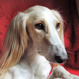 Rouge by Clare Draper - Animals - Dogs Portraits ( red, white, dog )