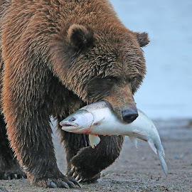 Dinner is served! by Anthony Goldman - Animals Other Mammals ( bear, wild, female, alaska, catch, silver salmon, lake clark, wildlife, brown, beach, mammal )