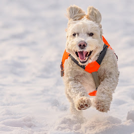 Snow Fun by John Sinclair - Animals - Dogs Running ( poodle miniature, running )