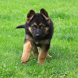 Putting My Best Foot Forward! by Chrissie Barrow - Animals - Dogs Running ( pet, fur, ears, legs, puppy, german shepherd, dog, tail, running, tan, black )