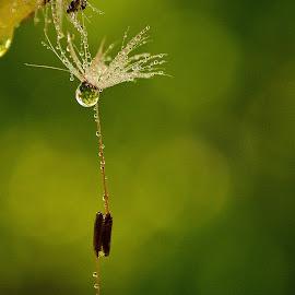 water drops by Ioana Draghiciu - Nature Up Close Water ( water, dandelion, green, drops, puff )