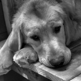 Udens Woe is Me BW by Ellee Neilands - Animals - Dogs Puppies ( canine, black and white, pet, puppy, golden retriever puppy, dog, cute, golden retriever )