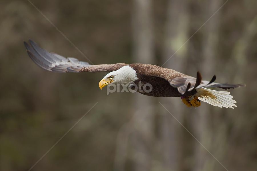 Bald Eagle by Herb Houghton - Animals Birds ( eagle, bird of prey, bald eagle, raptor )
