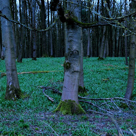 Hagley Wood by DJ Cockburn - Landscapes Forests ( england, forest, britain, worcestershire, countryside, tree, hagley, west midlands, hagley park, hagley wood, black country, uk, grass, wood, evening, landscape )