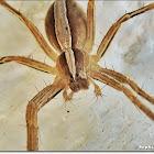 Nursery Web or Fishing Spider