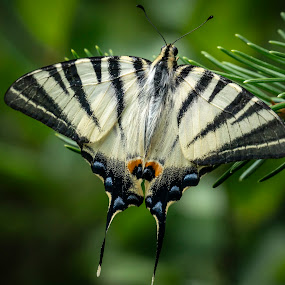 Butterfly 'Iphiclides podalirius' by Marina Denisenko - Animals Insects & Spiders ( papillon, macro, beauty, nature, butterfly,  )