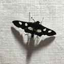 Grape Leafroller Moth