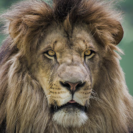 The King by Sara Ascalon - Animals Lions, Tigers & Big Cats ( big cat, leo panthera, lion, mane, feline, african mammal )