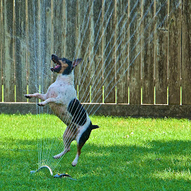 Happy by Kathy Suttles - Animals - Dogs Playing ( puppyfun, playing in water, happy, waterplay, dog day afternoon. )