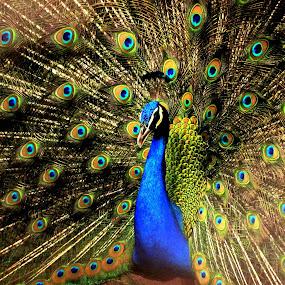 PEACOCK by Srabani Mitra - Animals Birds ( peacock )