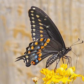 Pipe Vine Swallowtail by Howard Mattix - Animals Insects & Spiders ( animals, macro, butterflies, nature up close, insects,  )