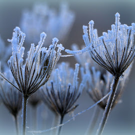 frozen decay by Hilda van der Lee - Nature Up Close Other plants ( winter, nature, ice, frozen, close up, decay )