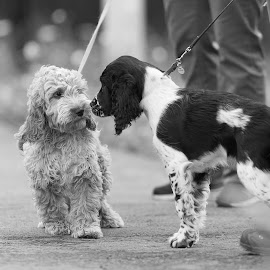 Hi there! by Ole Walter Sundlo - Animals - Dogs Puppies ( two dogs, dogs, springer spaniel, dogs meeting, doodle, cocker spaniel, dogs playing, cocker )