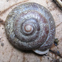 Amazon Land Snail, Labyrinth Land Snail