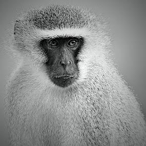 Big Daddy by Pieter J de Villiers - Black & White Animals ( mammals, animals, south africa, black & white, male monkey, vervet monkey, portrait )