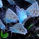 Chalkhill blue; Niña coridon