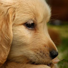missing my mom by Cristobal Garciaferro Rubio - Animals - Dogs Puppies ( puppie, dog, little dog, golden, golden retriever )