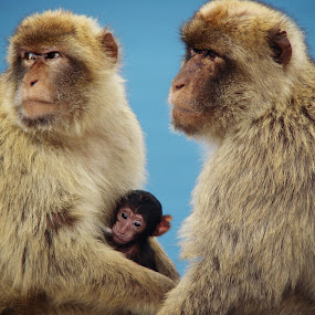 Barbary Macaques by Jackson Visser - Animals Other Mammals ( barbary macaques )