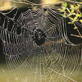 Morning Web by Robin Smith - Novices Only Wildlife ( up close, nature )
