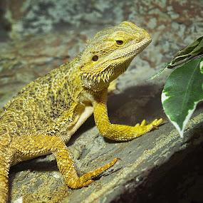 Dragon by Costi Manolache - Animals Reptiles ( fotoevent88, nature, dragon, yellow, reptile )