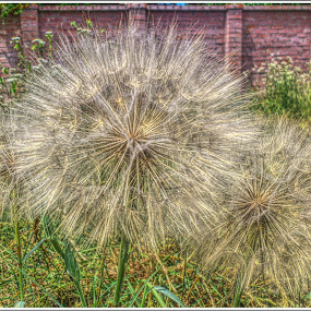 pitypang by Zlatko Sarcevic - Nature Up Close Other plants ( up close, macro, nature, hdr, dandelion,  )