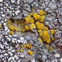Eggyolk Lichen