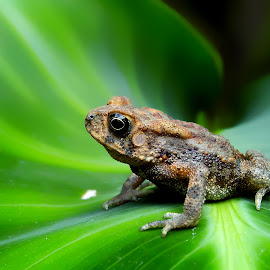 little toad by Hendrata Yoga Surya - Instagram & Mobile Android ( amphibian, toad, kodok )